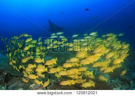 Snapper fish on reef with manta ray in background