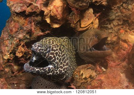 Honeycomb and Giant Moray Eels