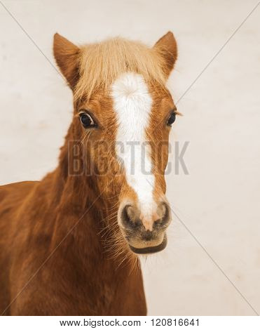 red pony with a big white blaze on his head on a beige background