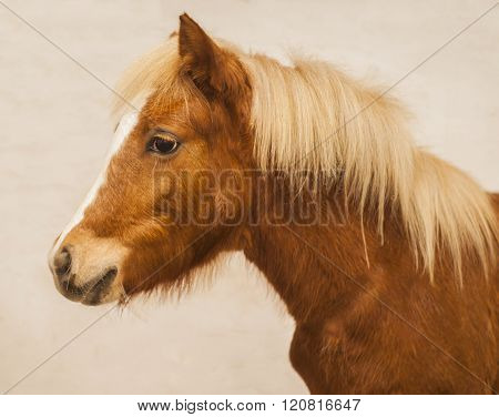 red pony with a big white blaze on his head on a beige wall background