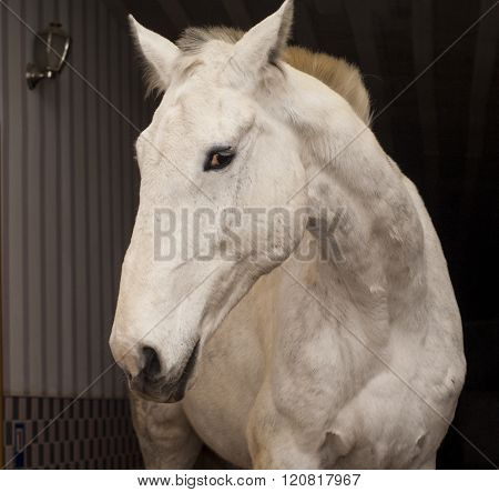 white horse with a short mane and black eyes stand in the stable