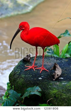 Red Ibis Bird Near The Water