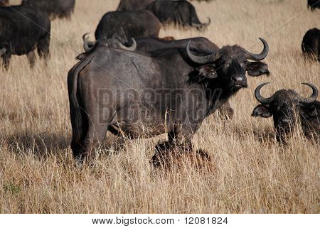 African buffalo with herd