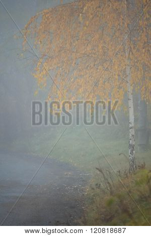 Birch in the fog near  road