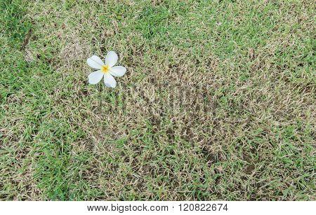 Fallen White Flower On Grass Background