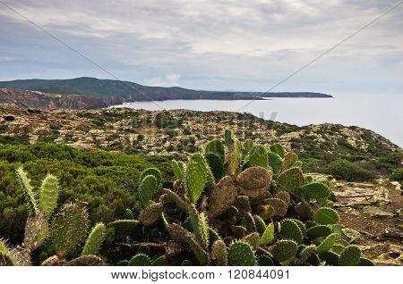 Cactus plants at west coast of San Pietro island, Sardinia