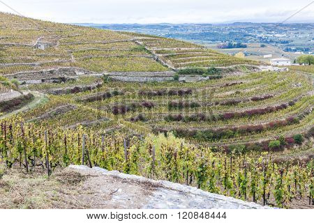 grand cru vineyard L�´Hermitage, Rhone-Alpes, France