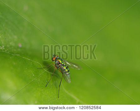 Long-legged Fly On Green Leaf Background