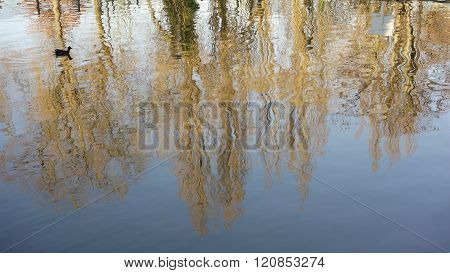 Moorhen and tree reflections