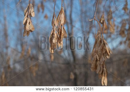 Dry seeds of the ash tree