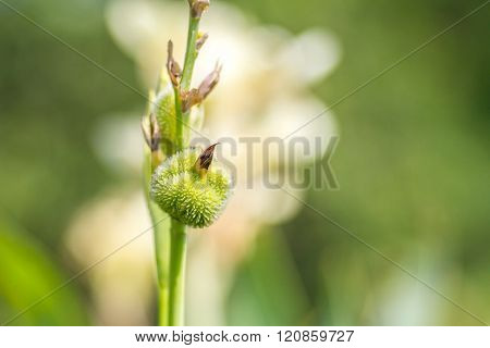 White Canna flower (Canna indica) in the garden with blurred background