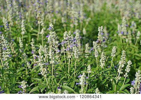 Salvia Flower