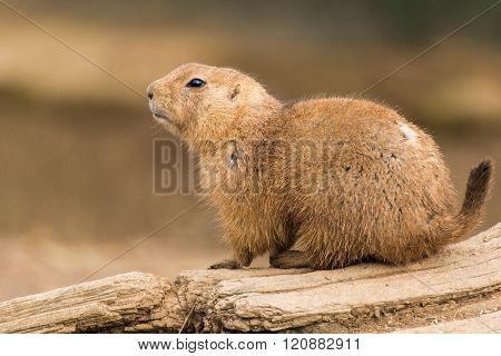 Black-tailed Prairie Dog, Cynomys Ludovicianus
