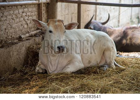 A Cow In Cattle Fair