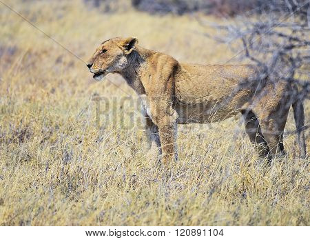 Lioness in Namibia Africa