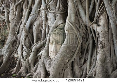 the stone head at the Wat Phra Mahathat in the city of Ayutthaya north of bangkok in Thailand in south east asia.