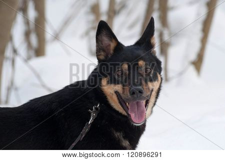 Black And Red Mongrel Dog Standing On Snow