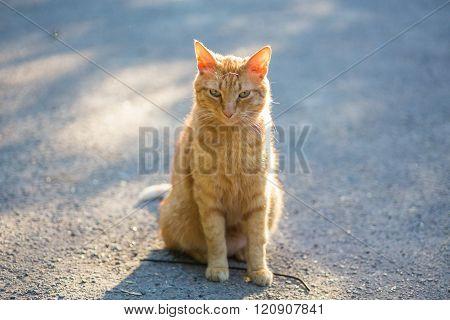 Red cat in the bright sun