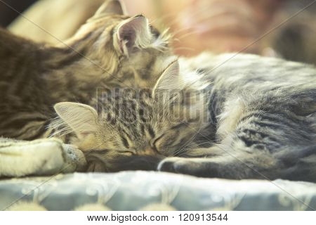 two small kitty Maine coon sleeping in bed