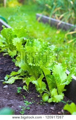 Green lettuce leaves on a garden bed