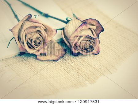 Two dried roses on the table. tinted photo. withered rose
