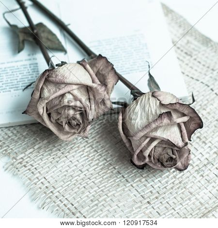 withered rose.  Dried roses and open book on a white background