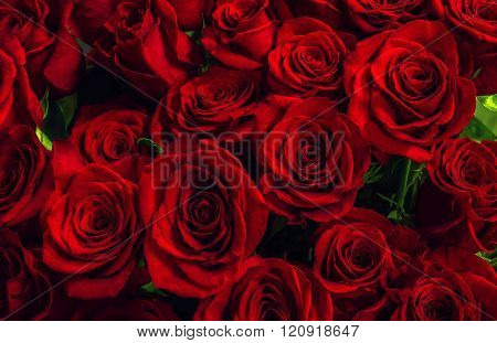 Natural Scarlet  Roses Background. Greeting Card With  Roses