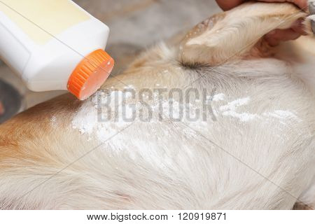 Applying tick and flea repellent powder on a dog