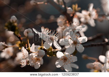 Flower petals and stamens - flowering fruit tree