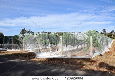 Vineyard: Layover Netting