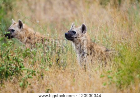 Spotted Hyenas hunting, South Africa
