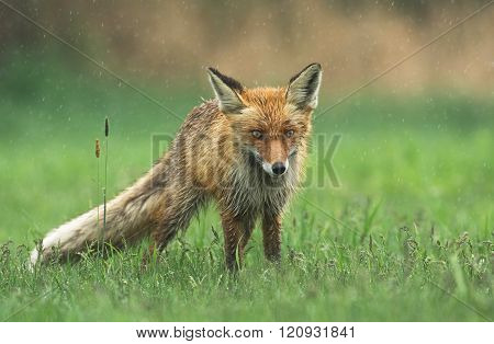 Young fox in spring scenery (Vulpes vulpes)