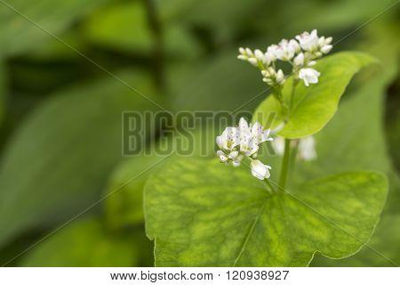 Close up buck wheat flower