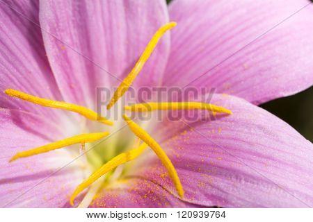 Zephyranthes carinata flower