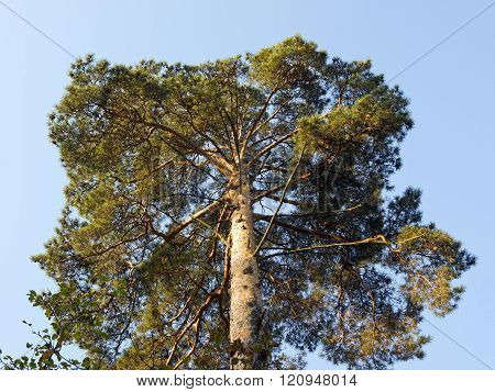 Crown of pine tree on the background of a morning blue sky
