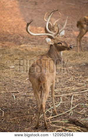 A Red Deer Looks Back