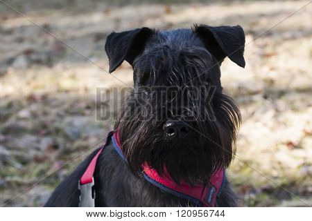 close up of the head of a miniature schnauzer