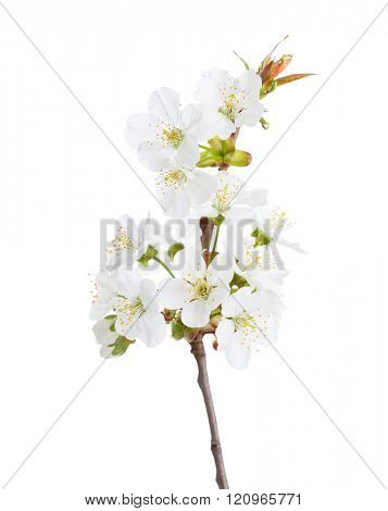 Sweet cherry in blossom isolated on white. Selective Focus. Prunus avium
