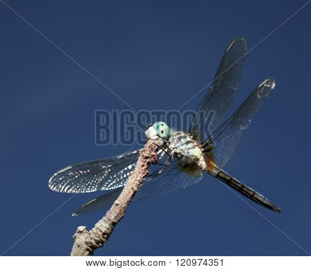 Dragonfly On The Hunt