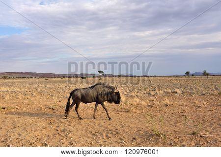 Blue Wildebeest Antelope