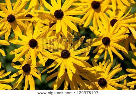 Bright Yellow Petals On Brown Eyed Susans