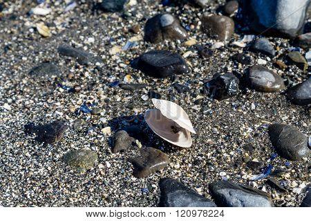 White Clam Shell On Black Beach