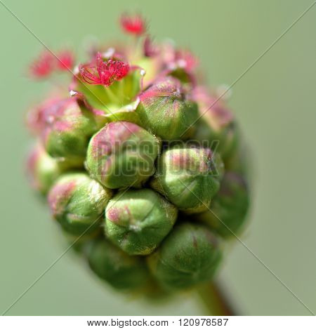 Salad burnet (Sanguisorba minor)