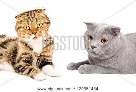 Two cats Scottish Fold