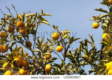Leech lime or Bergamot fruits hanging on its tree.
