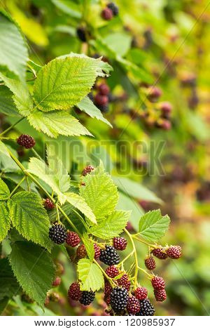 red and black blackberries grow on shrub