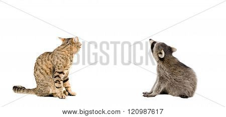 Scottish Straight cat and raccoon sitting together, rear view