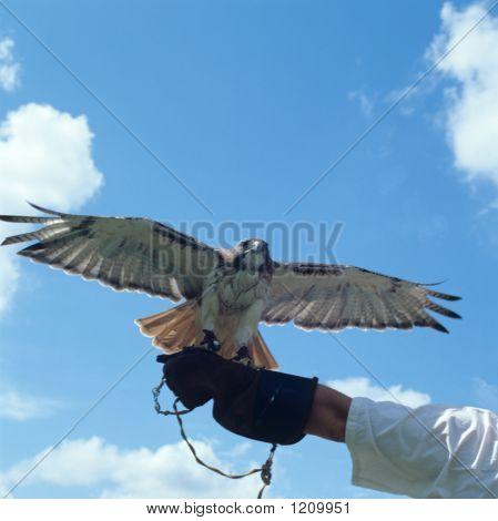 Bstock011807Teathered Hawk