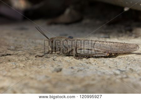 Large Locust Sitting On The Ground