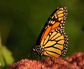 picture of monarch butterfly  - a monarch butterfly stops briefly to check out a pink flower - JPG